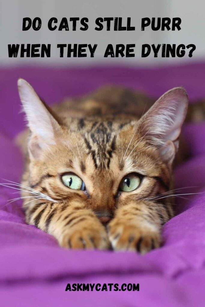 Do Cats Still Purr When They Are Dying?