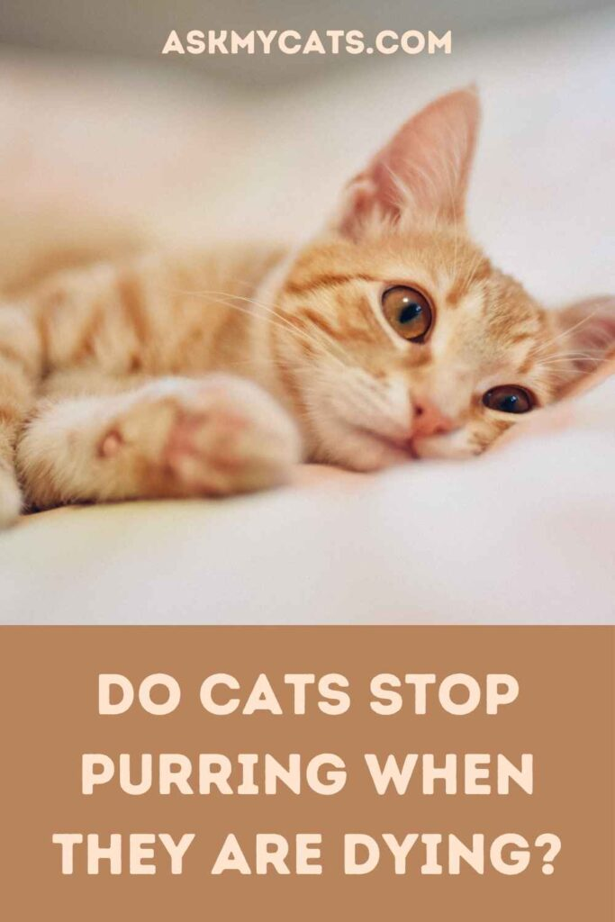 Do Cats Stop Purring When They Are Dying?