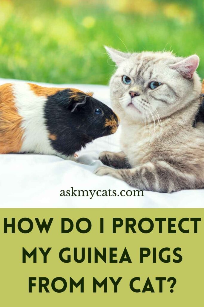 How Do I Protect My Guinea Pigs From My Cat?