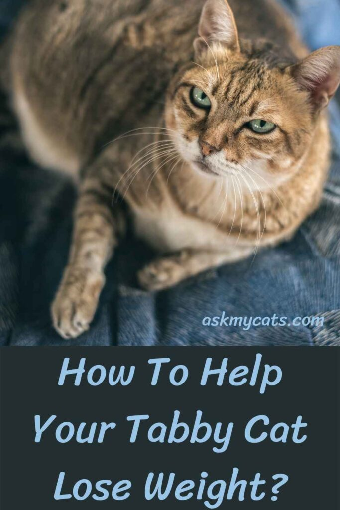 How To Help Your Tabby Cat Lose Weight?