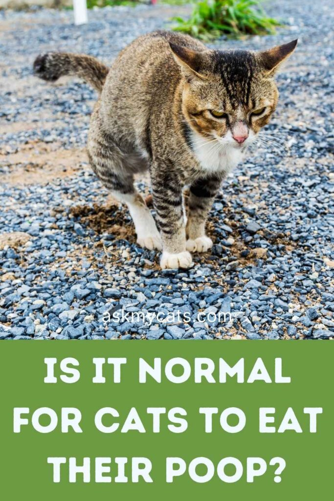 Is It Normal For Cats To Eat Their Poop?