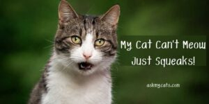 My Cat Can't Meow Just Squeaks! Can It Cause Problem?