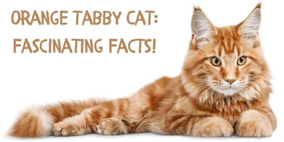 Orange Tabby Cat Fascinating Facts