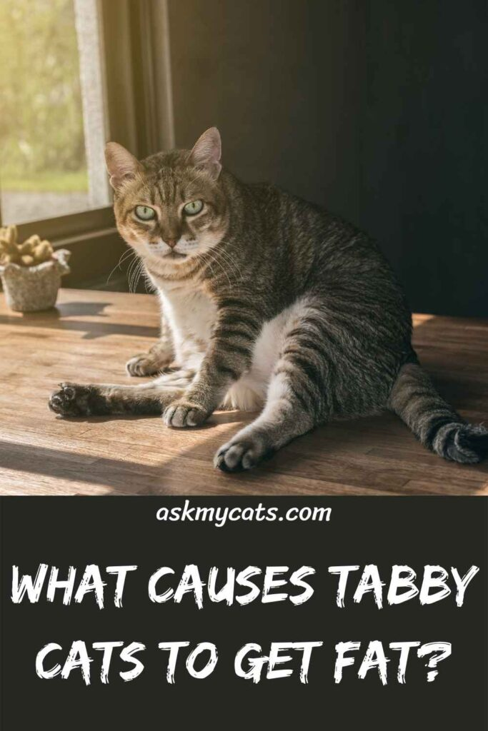 What Causes Tabby Cats To Get Fat?