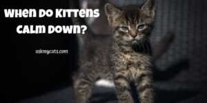 When Do Kittens Calm Down? Are They Always Hyper?