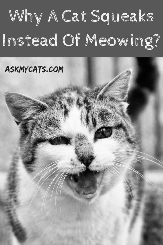 Why A Cat Squeaks Instead Of Meowing?