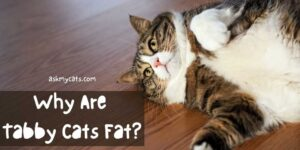 Why Are Tabby Cats Fat? Are They Prone To Health Risks?