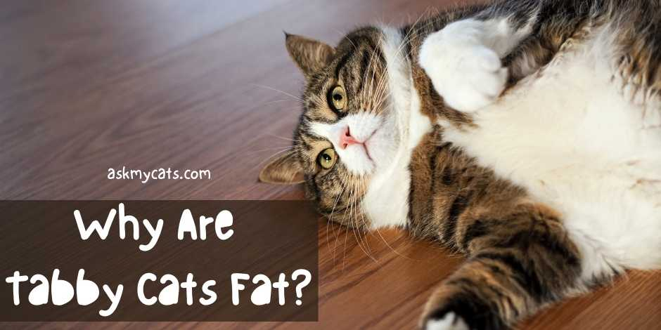 Why Are Tabby Cats Fat