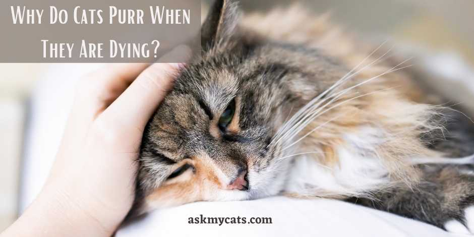 Why Do Cats Purr When They Are Dying