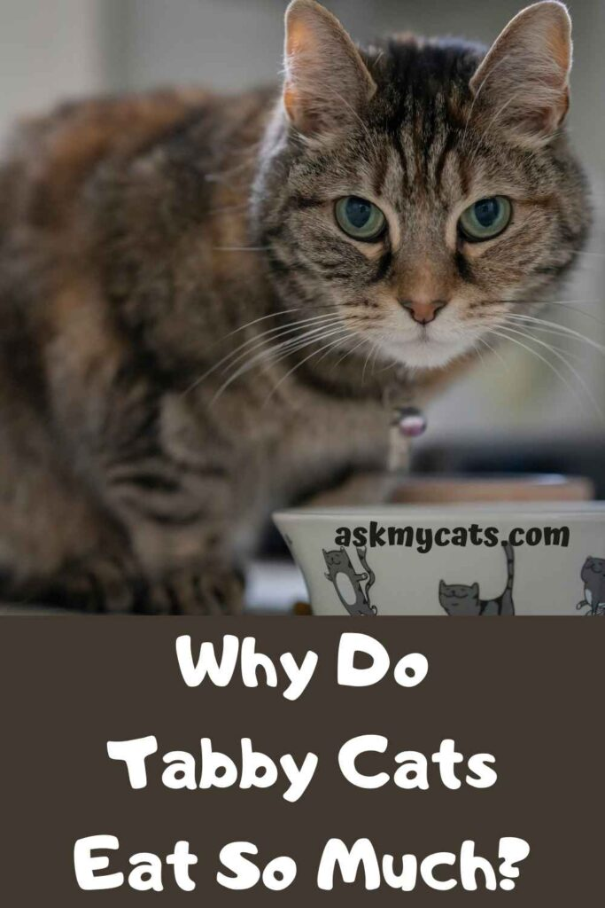 Why Do Tabby Cats Eat So Much?