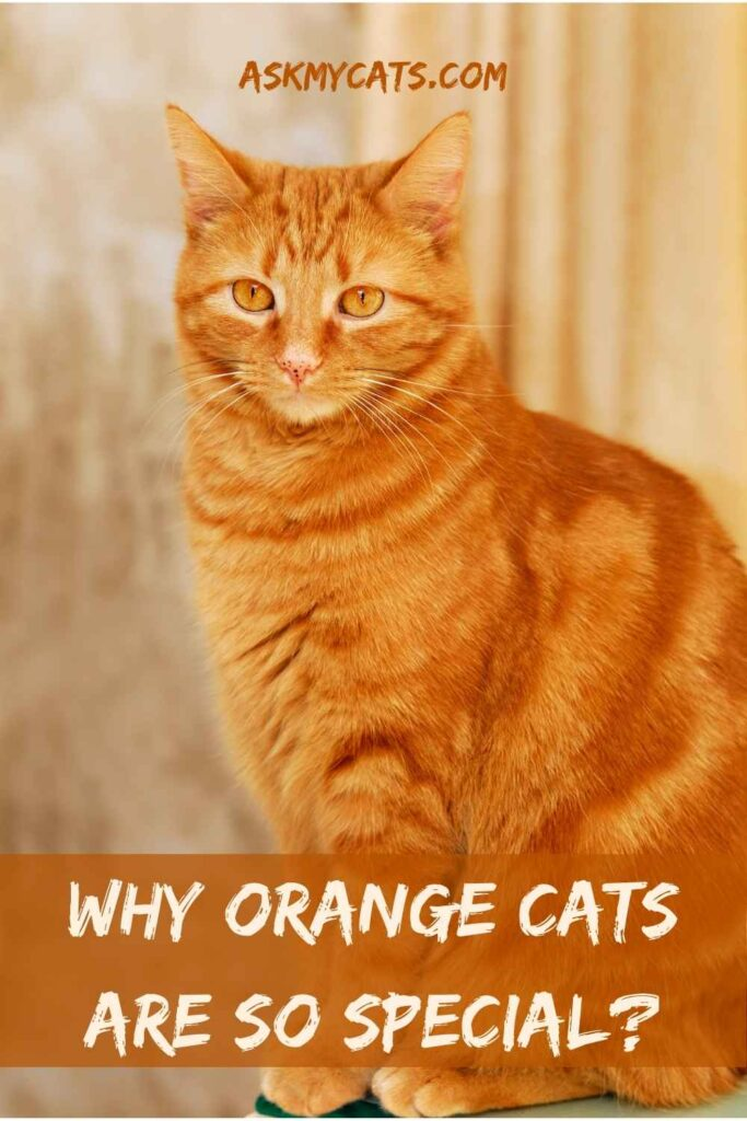 Why Orange Cats Are So Special?