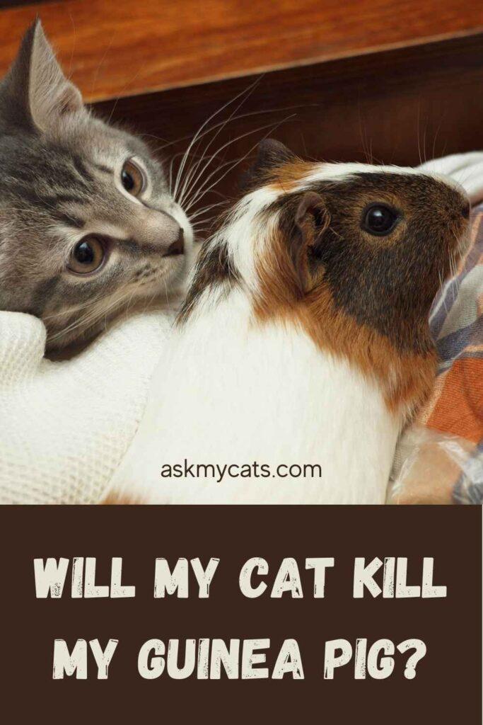 Will My Cat Kill My Guinea Pig?