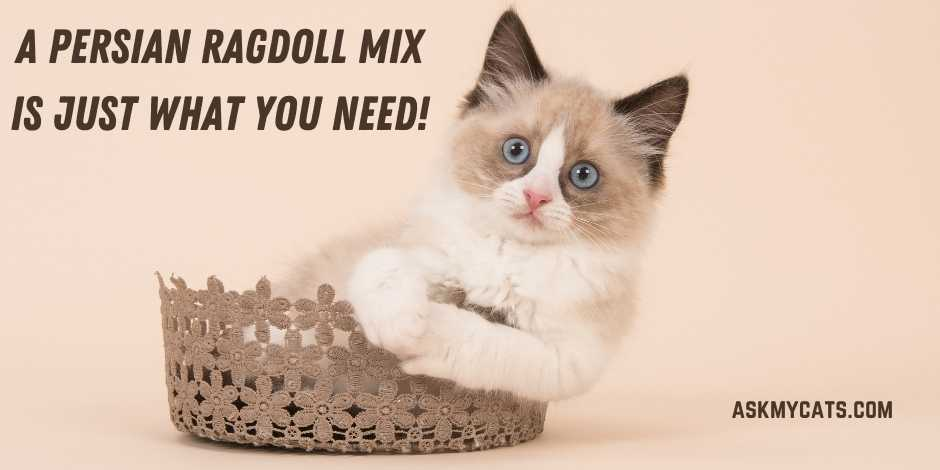 A Persian Ragdoll Mix Is Just What You Need