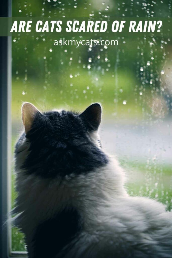 Are Cats Scared Of Rain?
