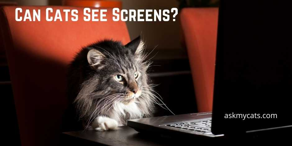 Can Cats See Screens
