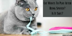 Cat Wants To Play After Being Spayed? Is It Safe?