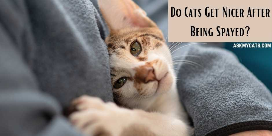 Do Cats Get Nicer After Being Spayed