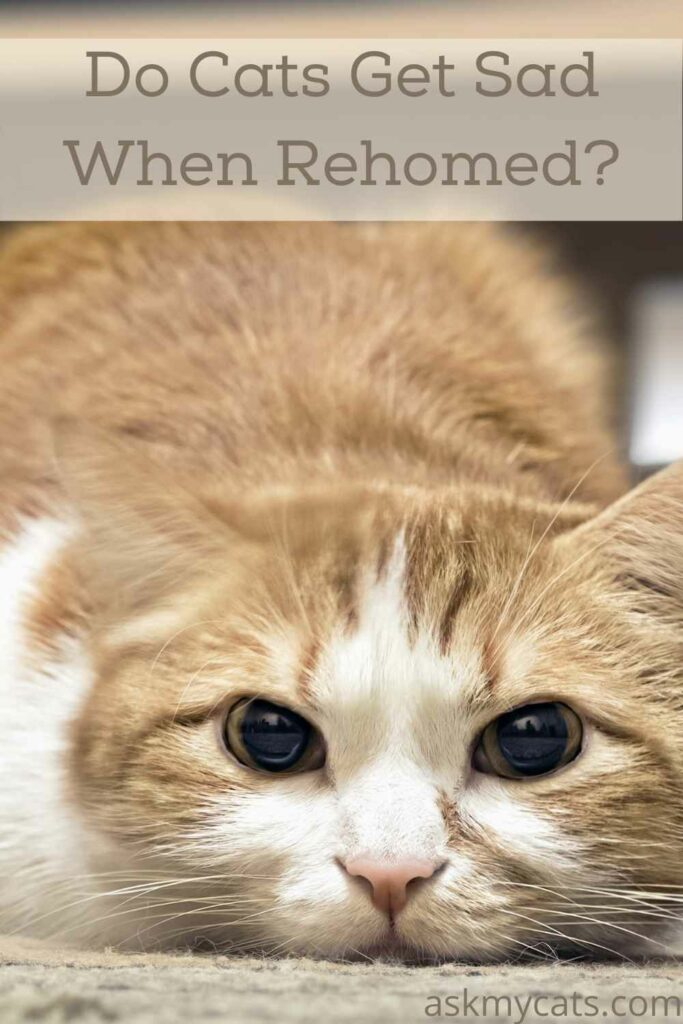 Do Cats Get Sad When Rehomed?
