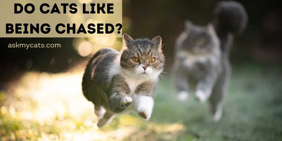 Do Cats Like Being Chased