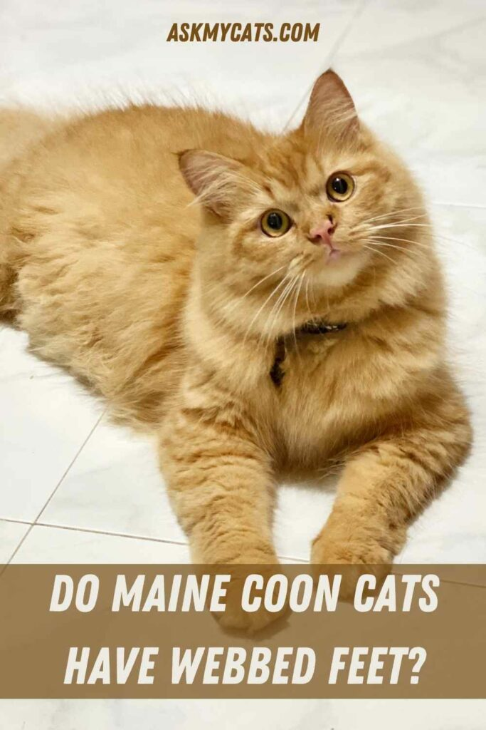 Do Maine Coon Cats Have Webbed Feet?
