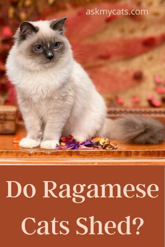 Do Ragamese Cats Shed?