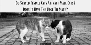 Do Spayed Female Cats Attract Male Cats? Does It Have The Urge To Mate?