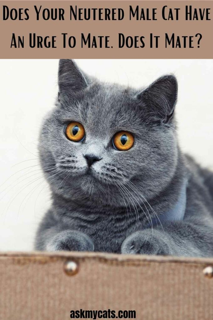 Does Your Neutered Male Cat Have An Urge To Mate
