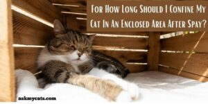 How Long Should I Confine My Cat In An Enclosed Area After Spay? How To Keep It Safe?