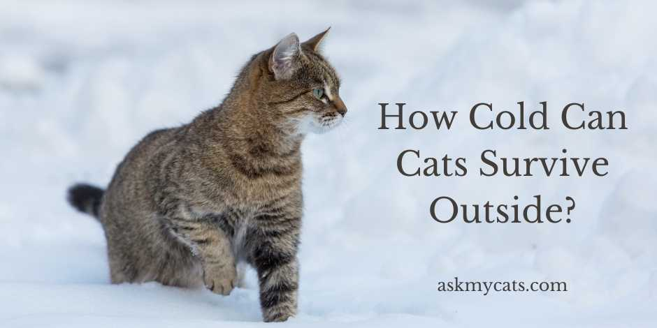 How Cold Can Cats Survive Outside