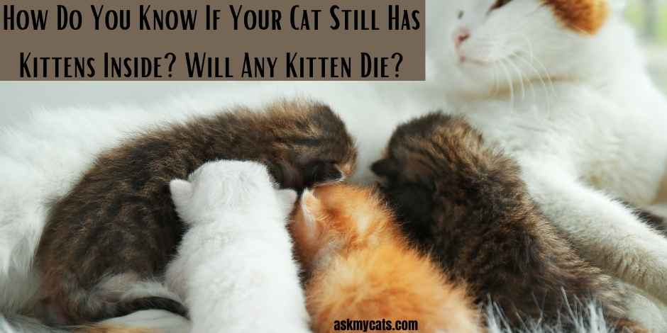 How Do You Know If Your Cat Still Has Kittens Inside Will Any Kitten Die 1