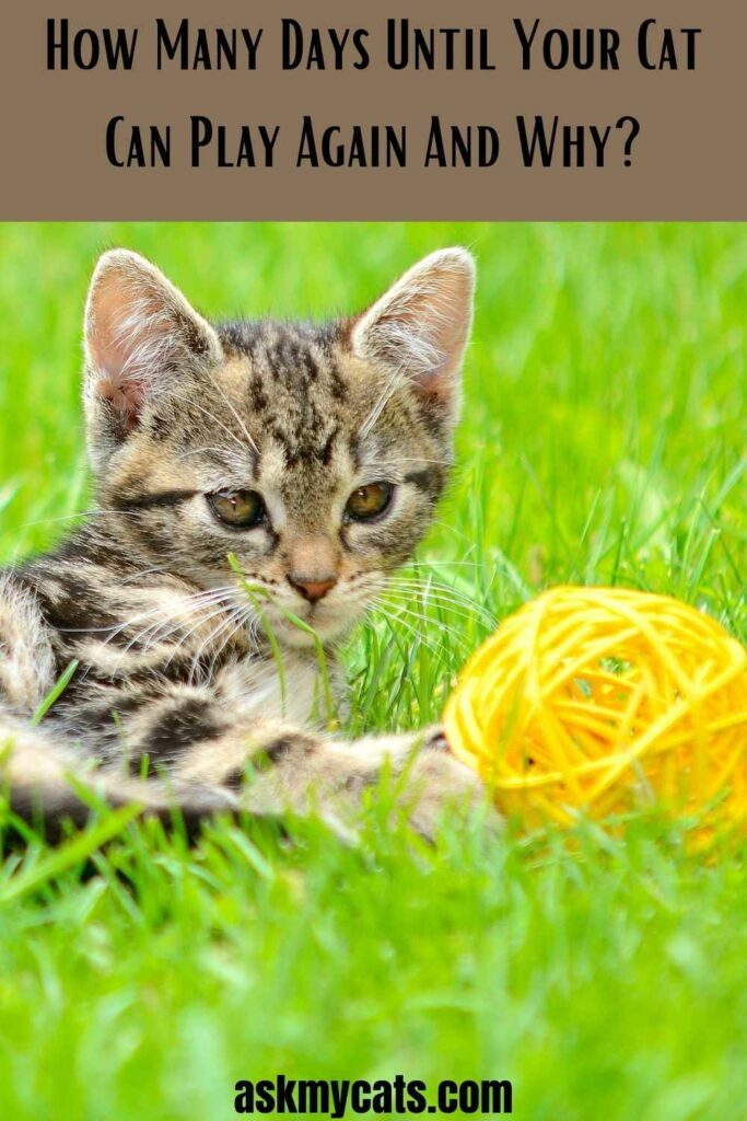How Many Days Until Your Cat Can Play Again And Why?