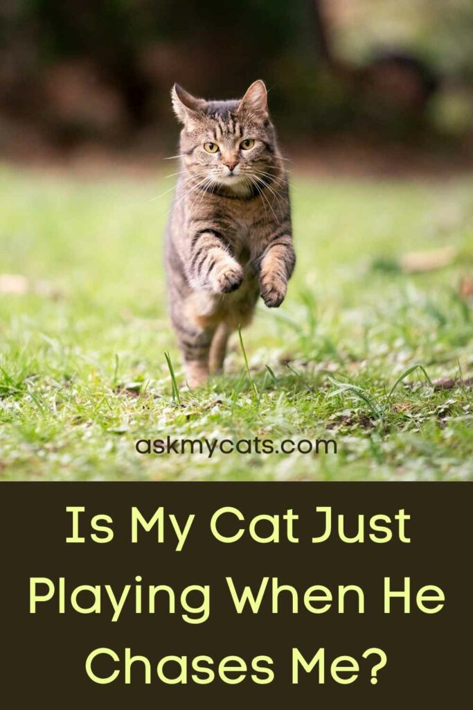 Is My Cat Just Playing When He Chases Me?
