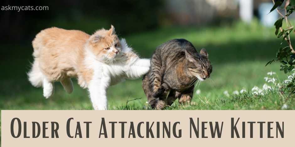 older cat attacking new kitten