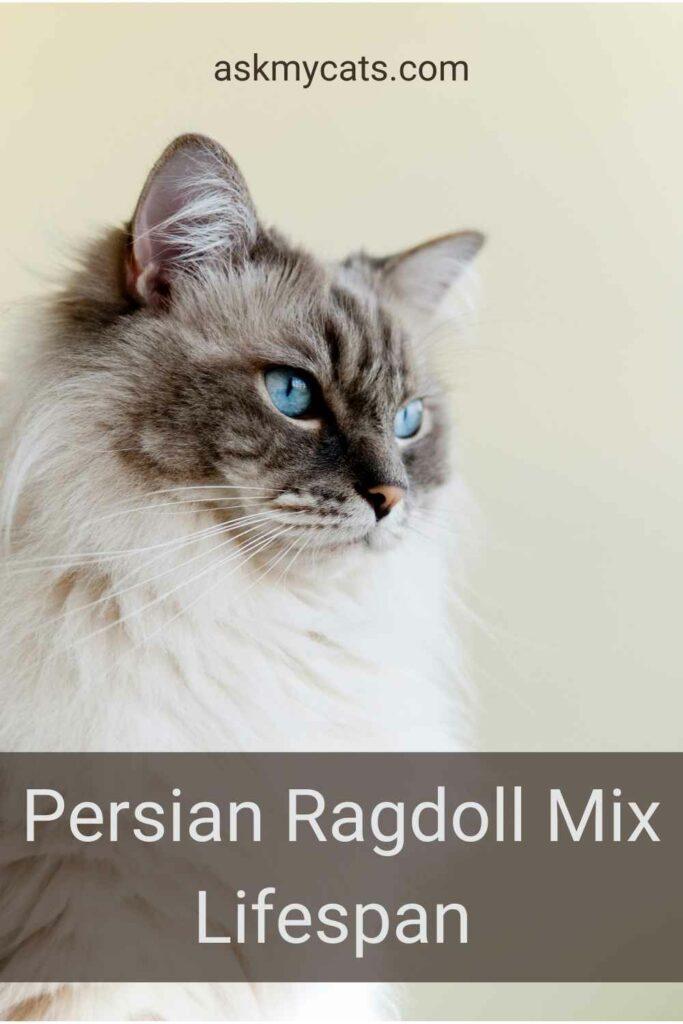 Persian Ragdoll Mix Lifespan