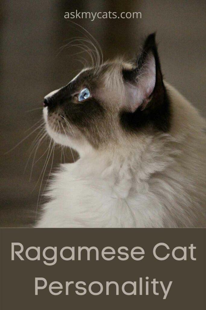 Ragamese Cat Personality