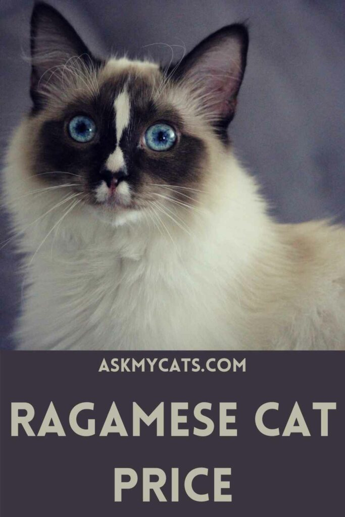 Ragamese Cat Price