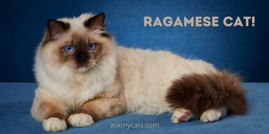 Ragamese Cat