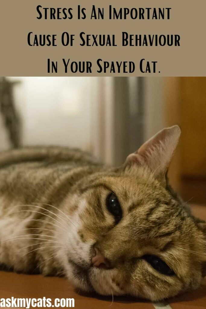Stress Is An Important Cause Of Sexual Behavior In Your Spayed Cat