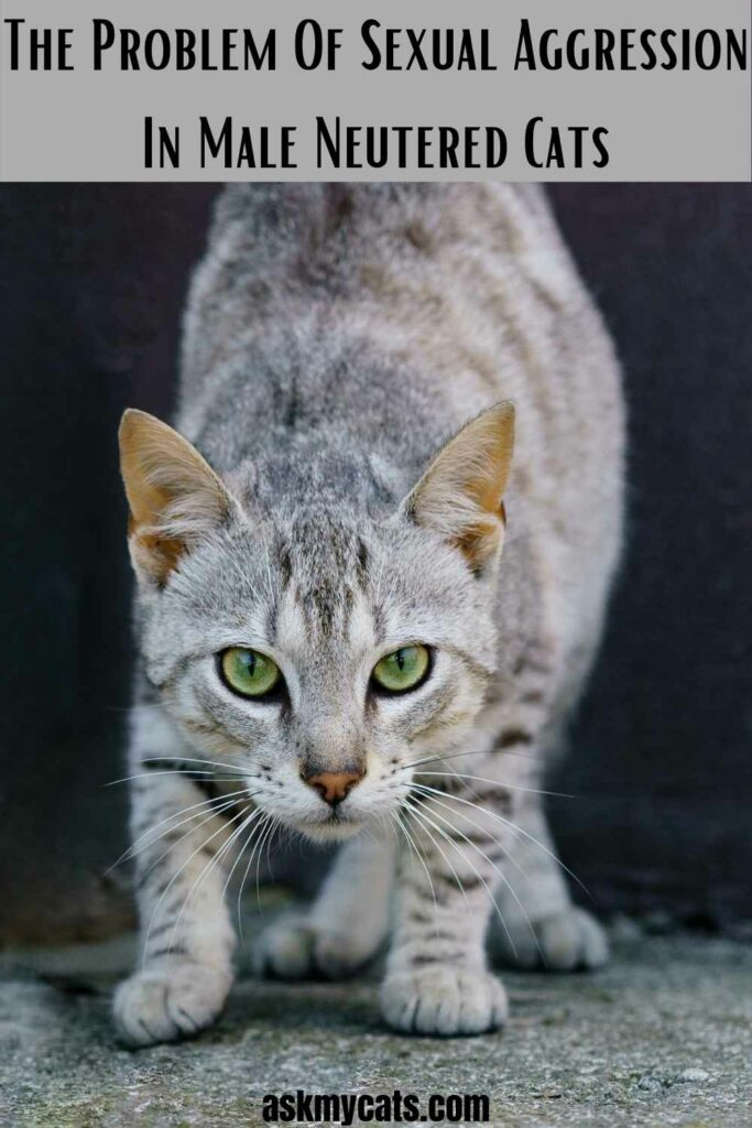 The Problem Of Sexual Aggression In Male Neutered Cats