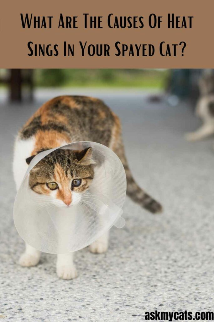 What Are The Causes Of Heat Sings In Your Spayed Cat?