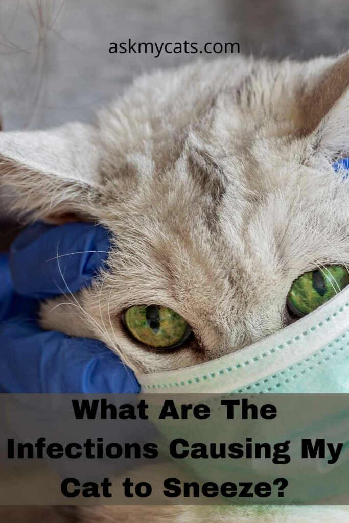 What Are The Infections Causing My Cat to Sneeze