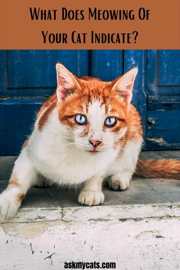 What Does Meowing Of Your Cat Indicate?