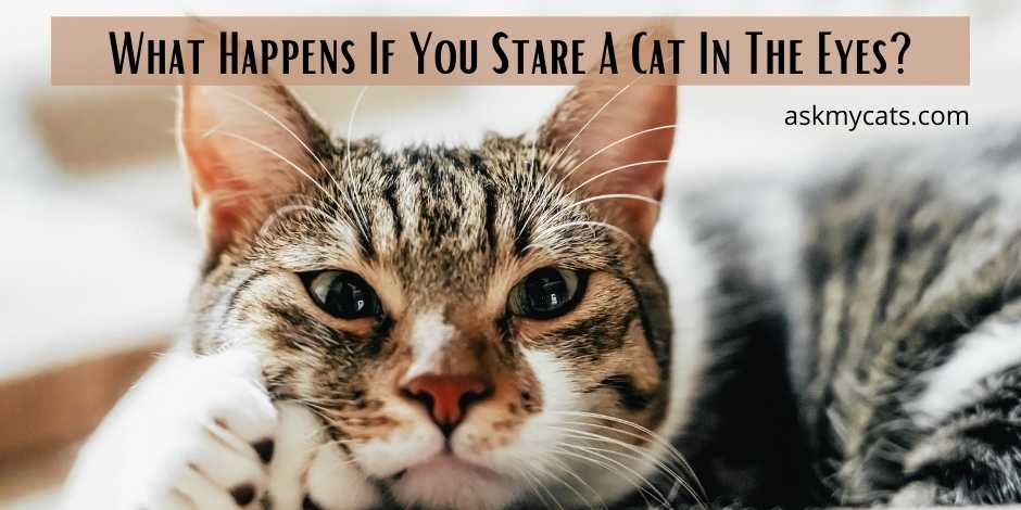 What Happens If You Stare A Cat In The Eyes
