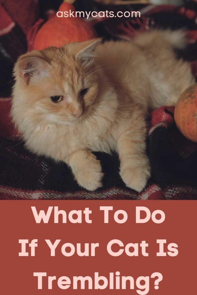 What To Do If Your Cat Is Trembling?