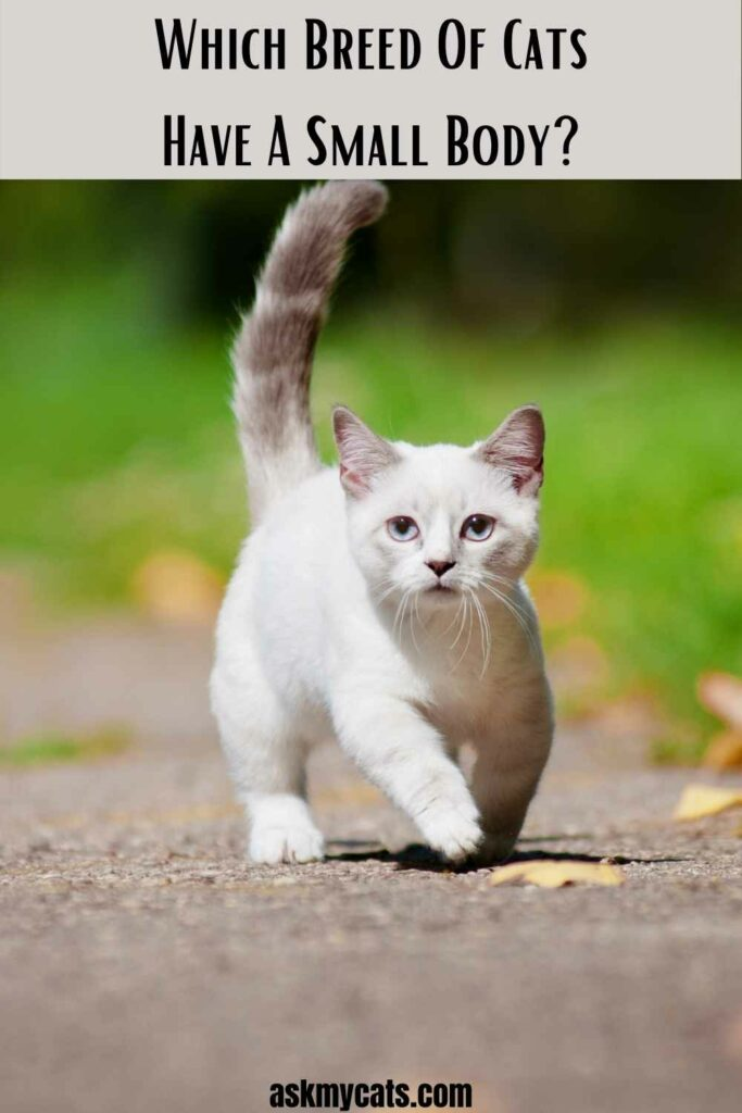 Which Breed Of Cats Have A Small Body?