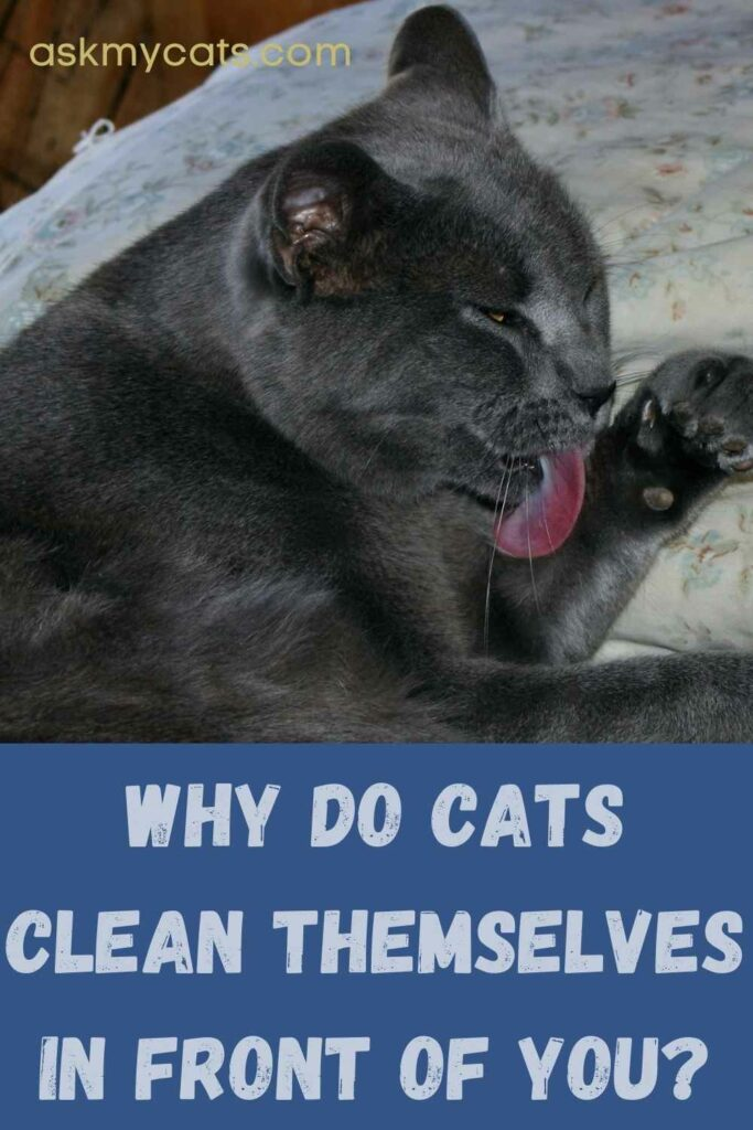 Why Do Cats Clean Themselves In Front Of You?