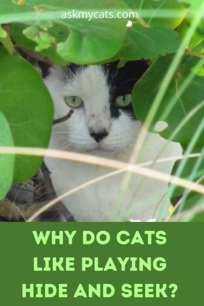 Why Do Cats Like Playing Hide and Seek?