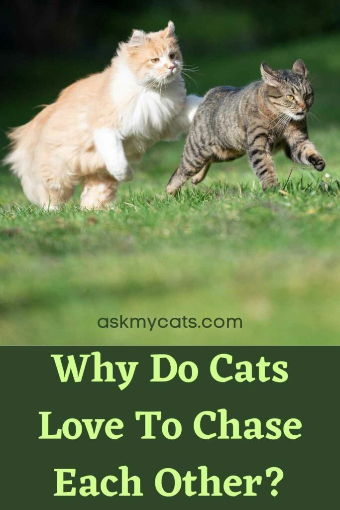 Why Do Cats Love To Chase Each Other?