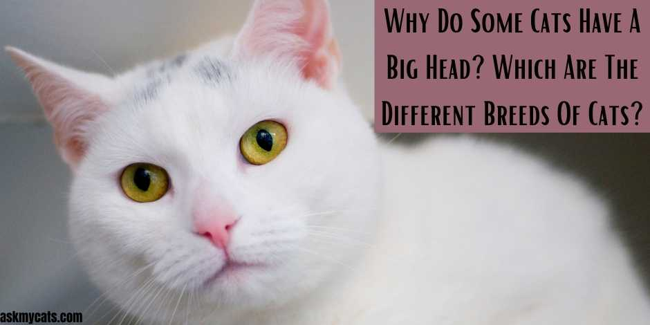 Why Do Some Cats Have A Big Head Which Are The Different Breeds Of Cats
