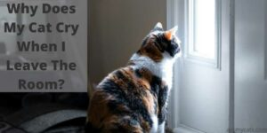 Why Does My Cat Cry When I Leave The Room?